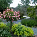 Bonica-Rose-Tree-in-Bloom